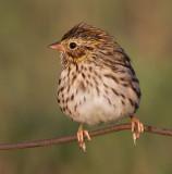 savannah sparrow juvenile 8