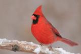cardinal 248