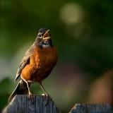 robin sing