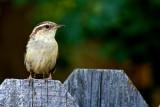 Bird on fence 2