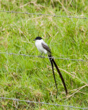 Forked-tailed Flycatcher - first bird sighted.