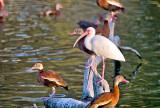 The Black-bellied Tree Ducks & White Ibis