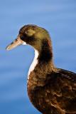 The Swedish Duck