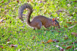 The American Red Squirrel