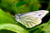 The Green-veined White