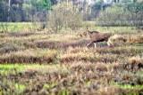 The Eurasian Elk