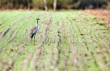 The Common Crane