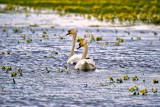 The Mute Swans