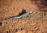 Lizard from the Monument Valley