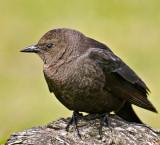 The Brown-headed Cowbird - Female