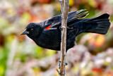 The Red-winged Blackbird