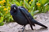 Brewer's Blackbird,