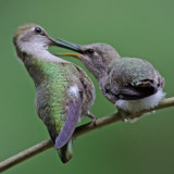 Baby hummingbirds 2011