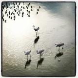 sandhill crane.jpg