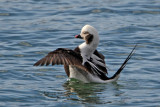 Long-Tailed Duck