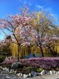 Sakura in Minoru.JPG