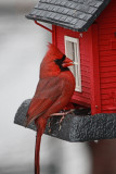 Cardinal on BirdfeederApril 1, 2011
