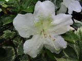 Azalea CloseupMay 27, 2011