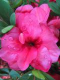 Pink Flower CloseupJune 1, 2011