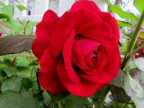 Red RoseJune 7, 2011