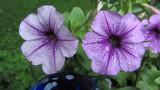 Purple FlowersJune 14, 2011