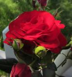 Red Rose CloseupJune 16, 2011
