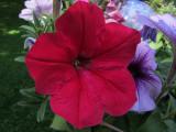Red Flower CloseupJune 20, 2011