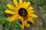Bees and DaisyJune 26, 2011