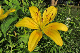 Lilly CloseupJuly 16, 2011