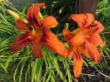 Asiatic LiliesJuly 19, 2011