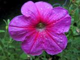 Waterdrops on Red PetuniaAugust 19, 2011