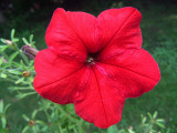 Red PetuniaAugust 27, 2011