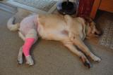 Glinda at Home After Surgery