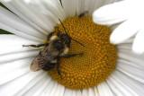 Bee on Daisy MacroOctober 4, 2011