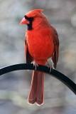 CardinalMarch 13, 2012