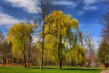 Willow Trees in HDRMarch 25, 2012