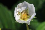 Strawberry Flower/Bud MacroAugust 22, 2012