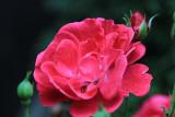 Red Rose MacroSeptember 4, 2012