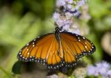 Butterflies in USA