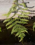 Kärrbräken (Thelypteris palustris)