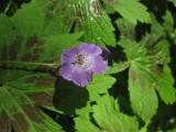 Brunnäva (Geranium phaeum)