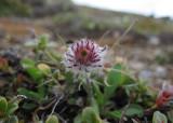 Vitbinka (Erigeron uniflorus ssp. eriocephalus)