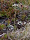 Grönkattfot (Antennaria porsildii)