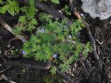 Brandnäva (Geranium lanuginosum)