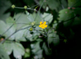 Borstsmörblomma (Ranunculus lanuginosus)