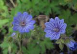 Brandnäva (Geranium lanuginosum) & svedjenäva