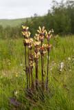 Kung Karls spira (Pedicularis sceptrum-carolinum)