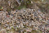 Fjällämmel (Lemmus lemmus)