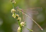 Vandrande smaragdflickslända (Lestes barbarus)