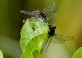 Citronfläckad kärrtrollslända (Leucorrhinia pectoralis)